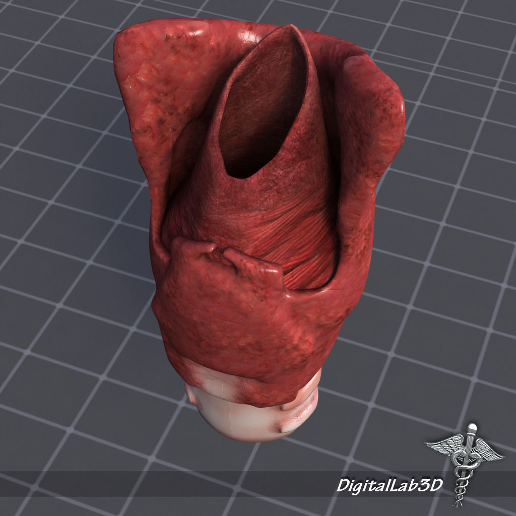 Tongue Throat and Teeth Collection 3D model | CGTrader