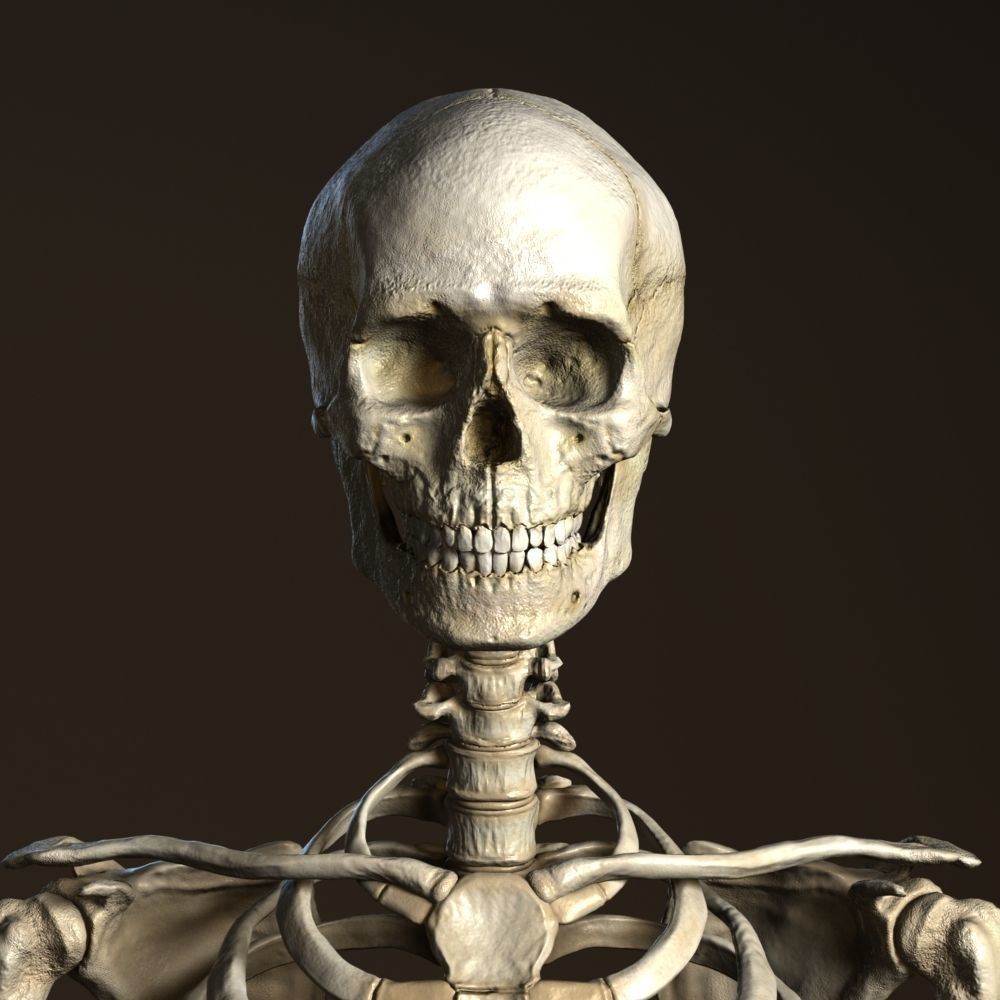 Human Anatomy - Male Skeleton