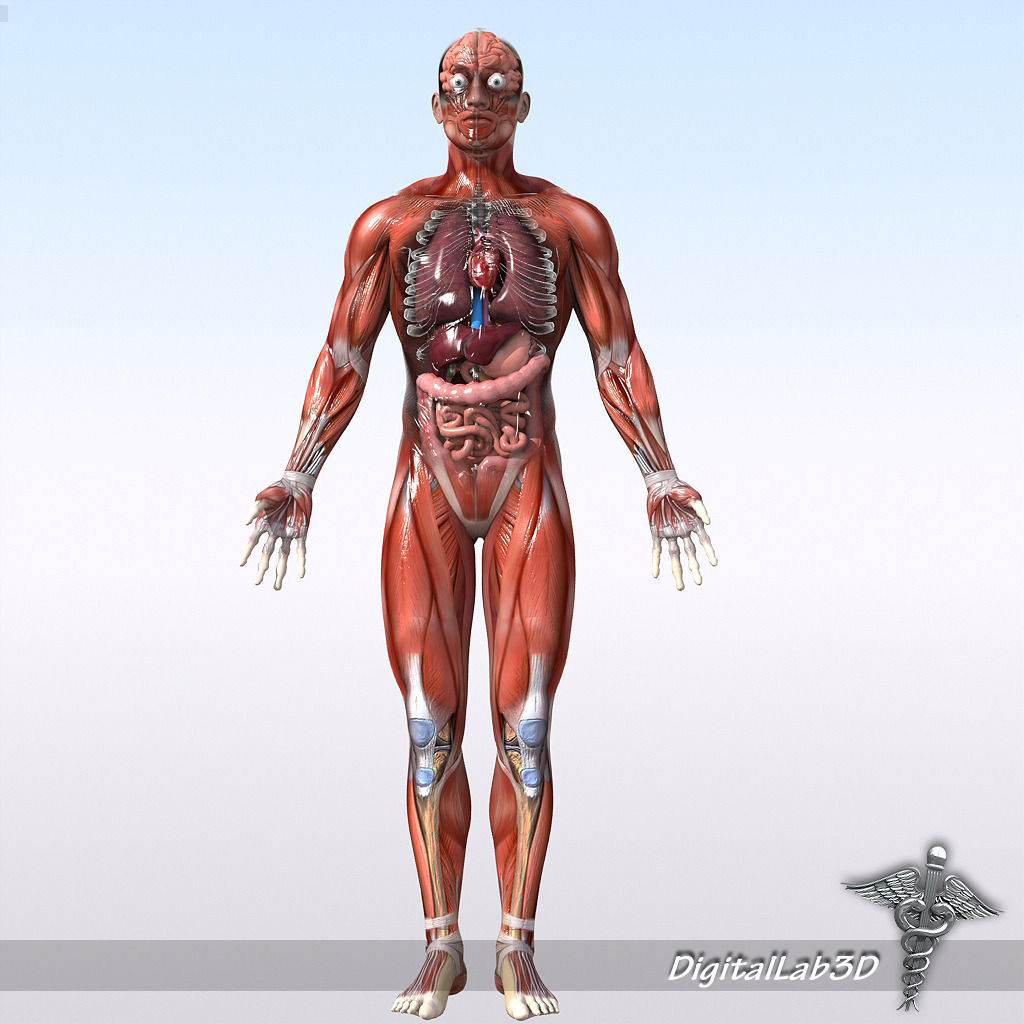 Human Male and Female Anatomy 3D model | CGTrader