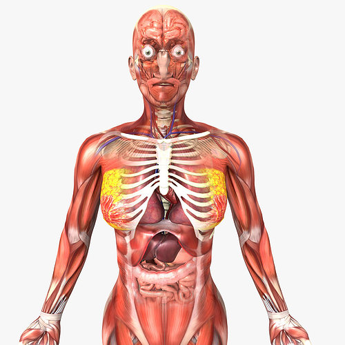 3d Model Human Female Anatomy Cgtrader