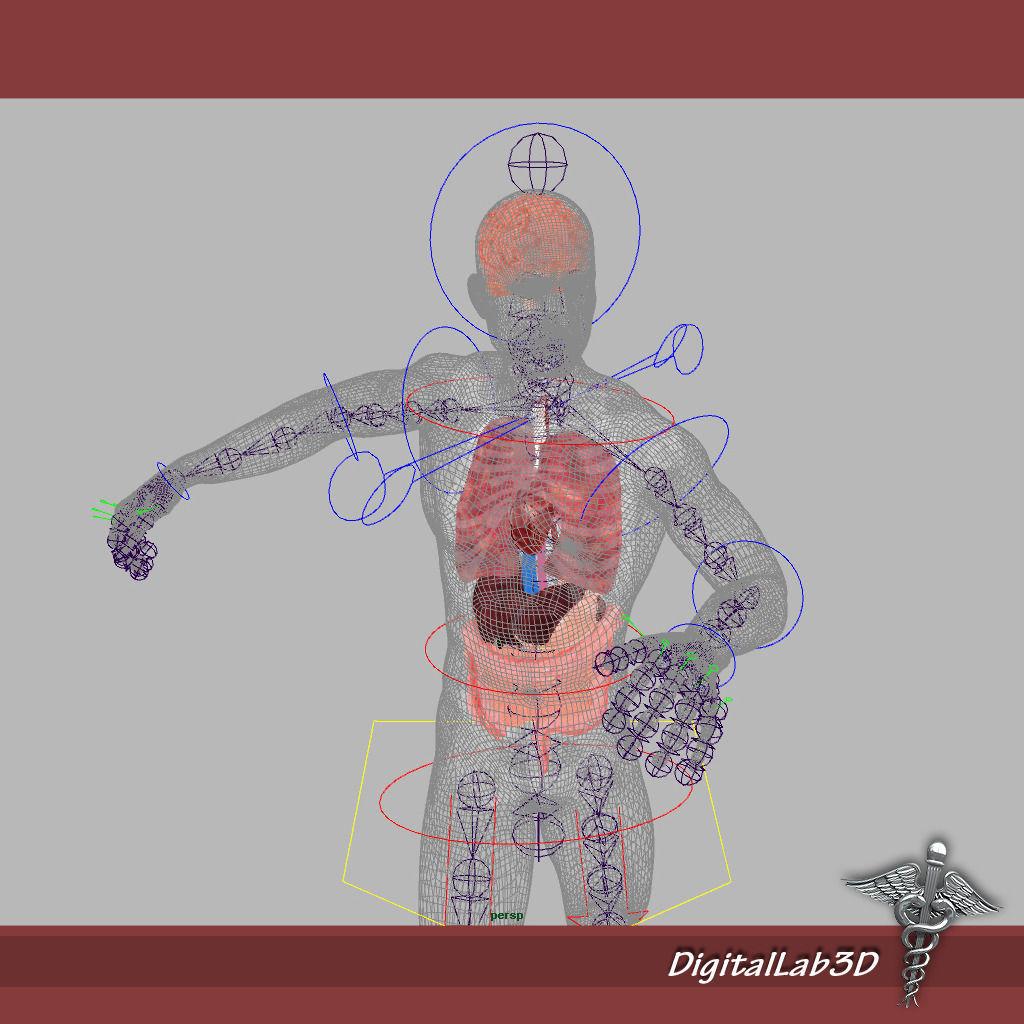 Rigged - Human Male Anatomy 3D | CGTrader