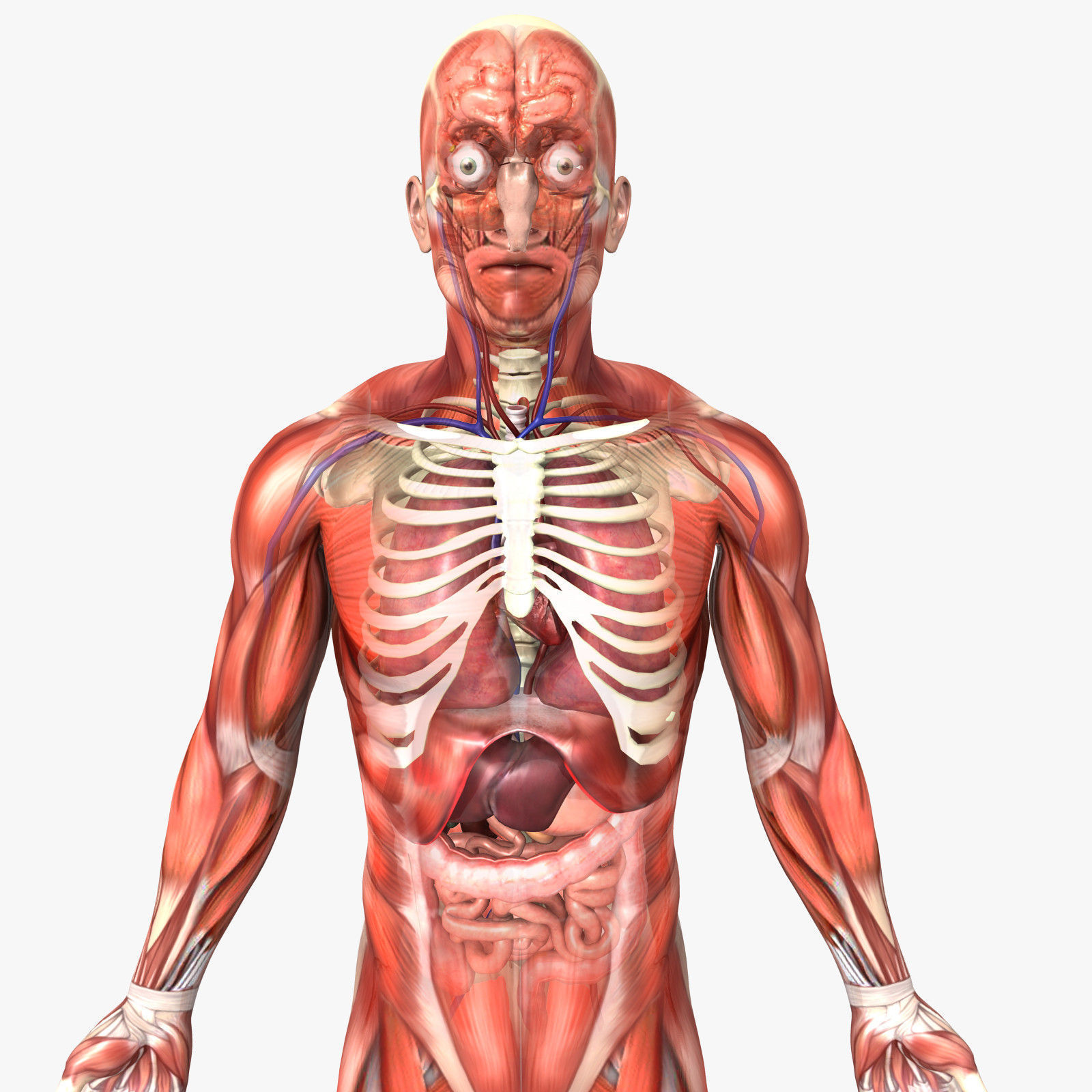 Rigged Human Male Anatomy 3d Cgtrader