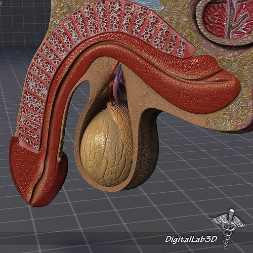 Human Male Genital Anatomy 3D   CGTrader