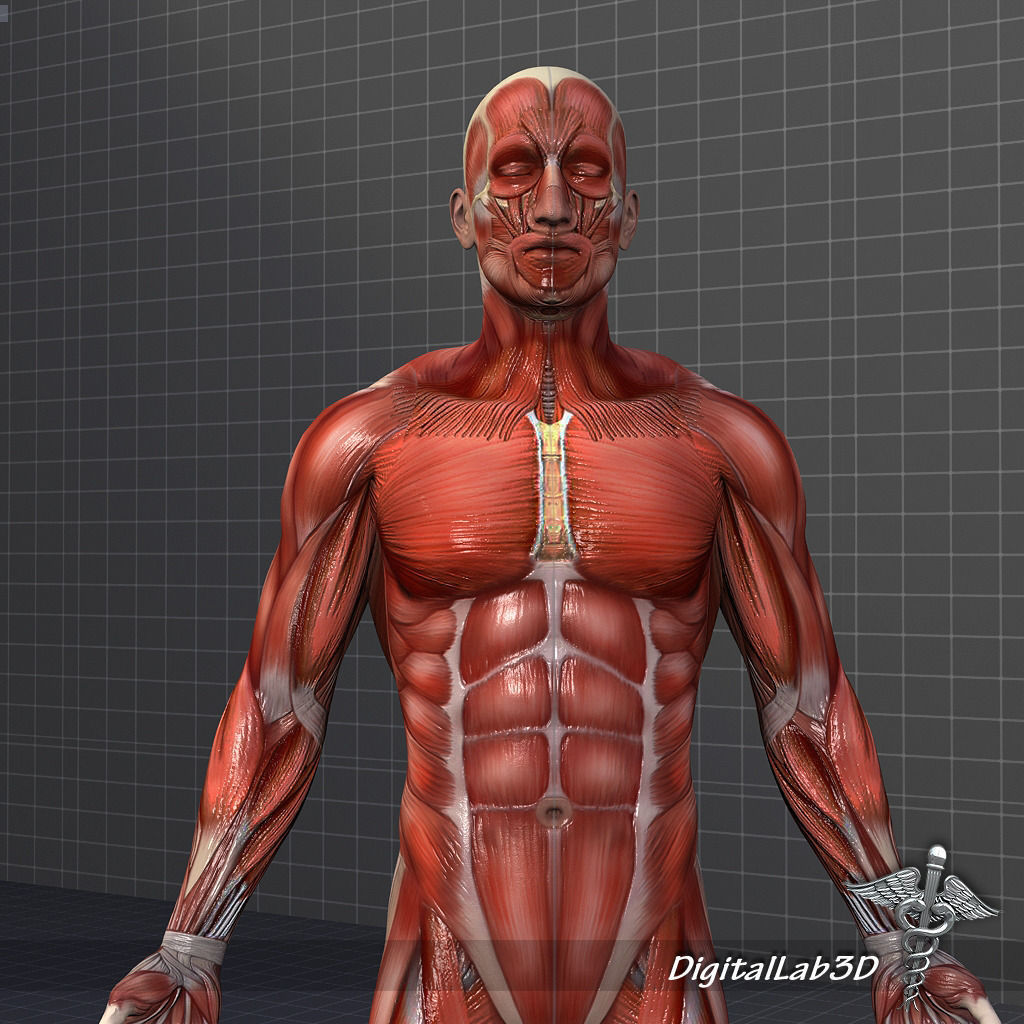 collection rigged - male and female muscular system 3d model, Muscles