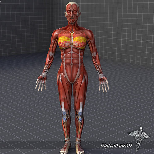 female 3D model Human Female Muscular System   CGTrader