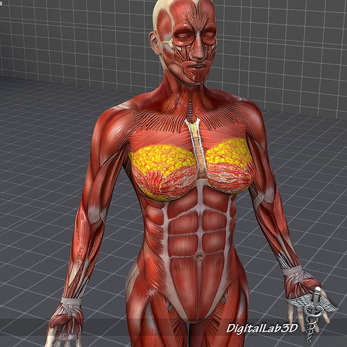 human female muscular system 3d model max obj 3ds fbx c4d lwo lw lws, Muscles