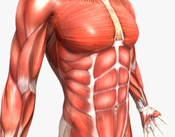 rigged - human male muscular system 3d model ma mb