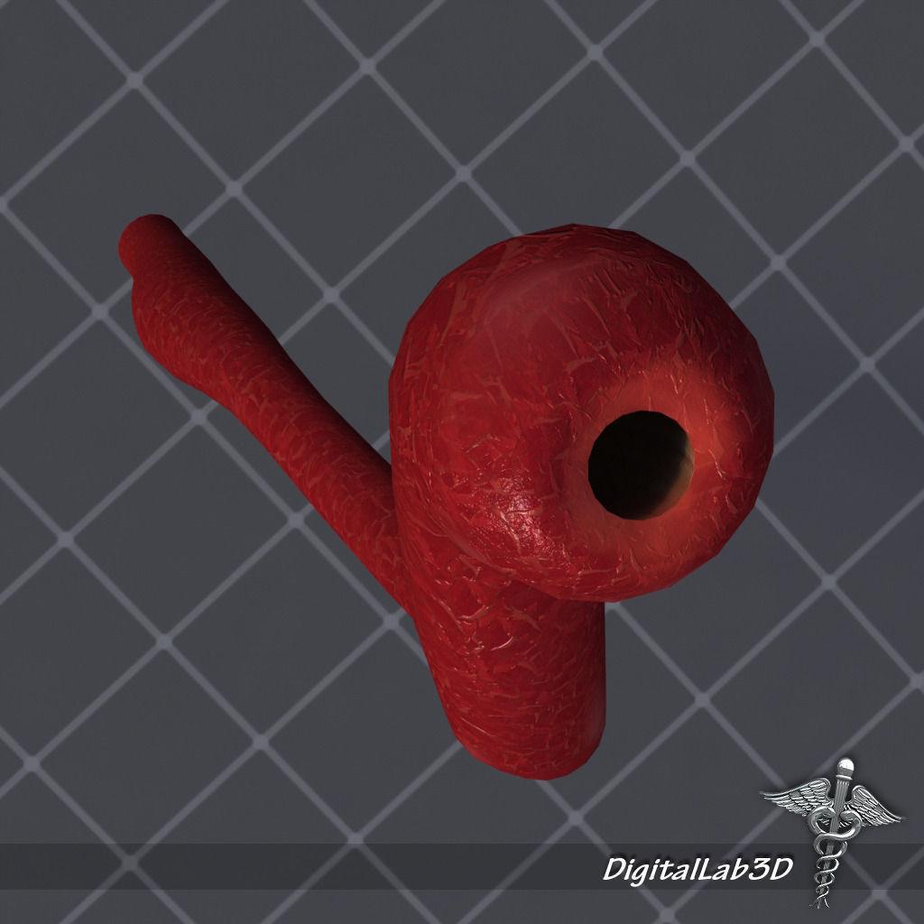 3D Esophagus Anatomy   CGTrader