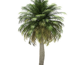climate Chilean Wine Palm 3D Model 7m