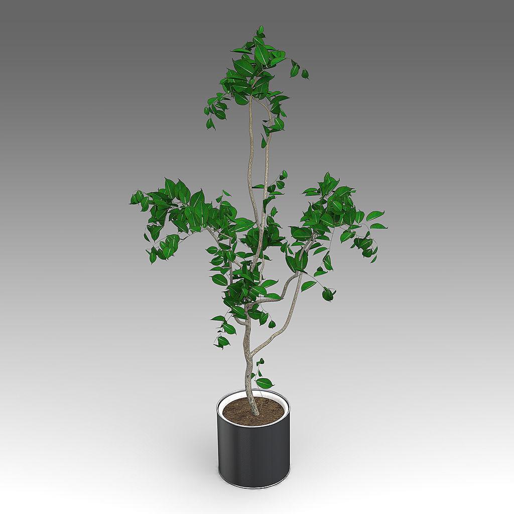 Ficus Growth Plant 11