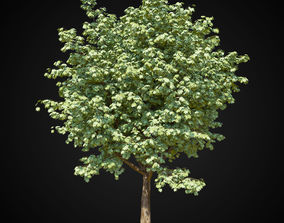 botanic Maple tree 3D