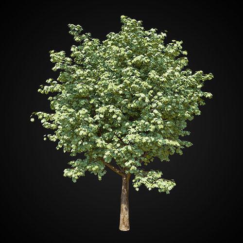 maple tree 3d model max obj mtl fbx 1