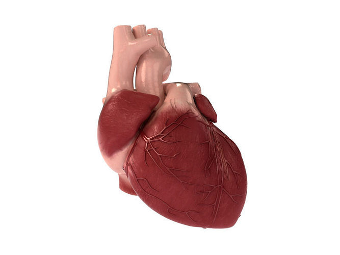detailed 3d human heart 3d model max obj mtl 3ds fbx stl unitypackage prefab 1