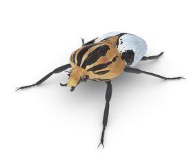 Goliath Beetle 3D asset