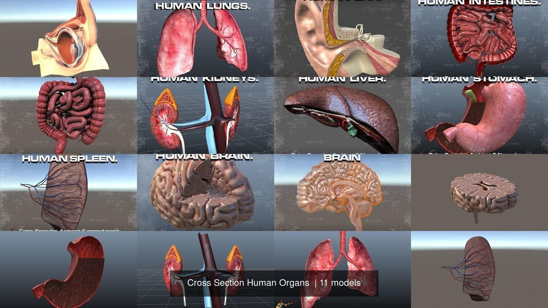Cross Section Human Organs