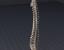 3D model Human Spinal Cord Anatomy