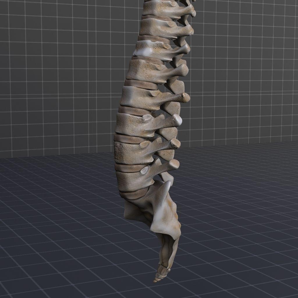 Human Spinal Cord Anatomy 3D | CGTrader