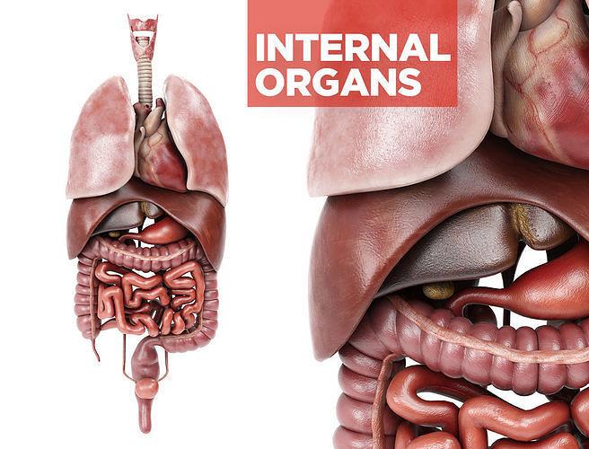 internal organs - anatomical model with 4k textures 3d model max obj mtl fbx 1