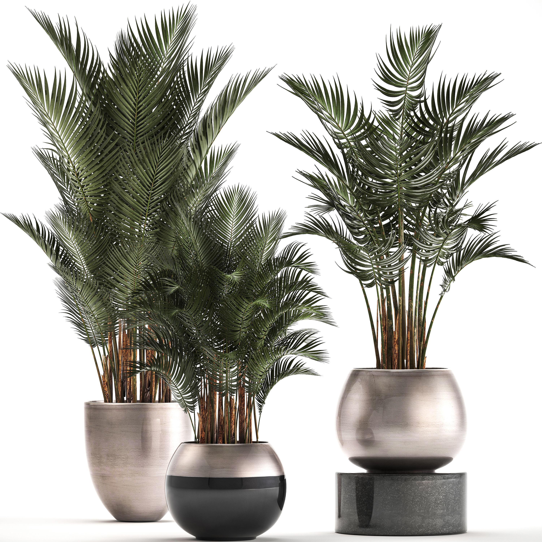 Collection of Exotic plants palms Howea | 3D model