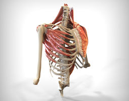 3d model human upper skeletal and connecting muscles