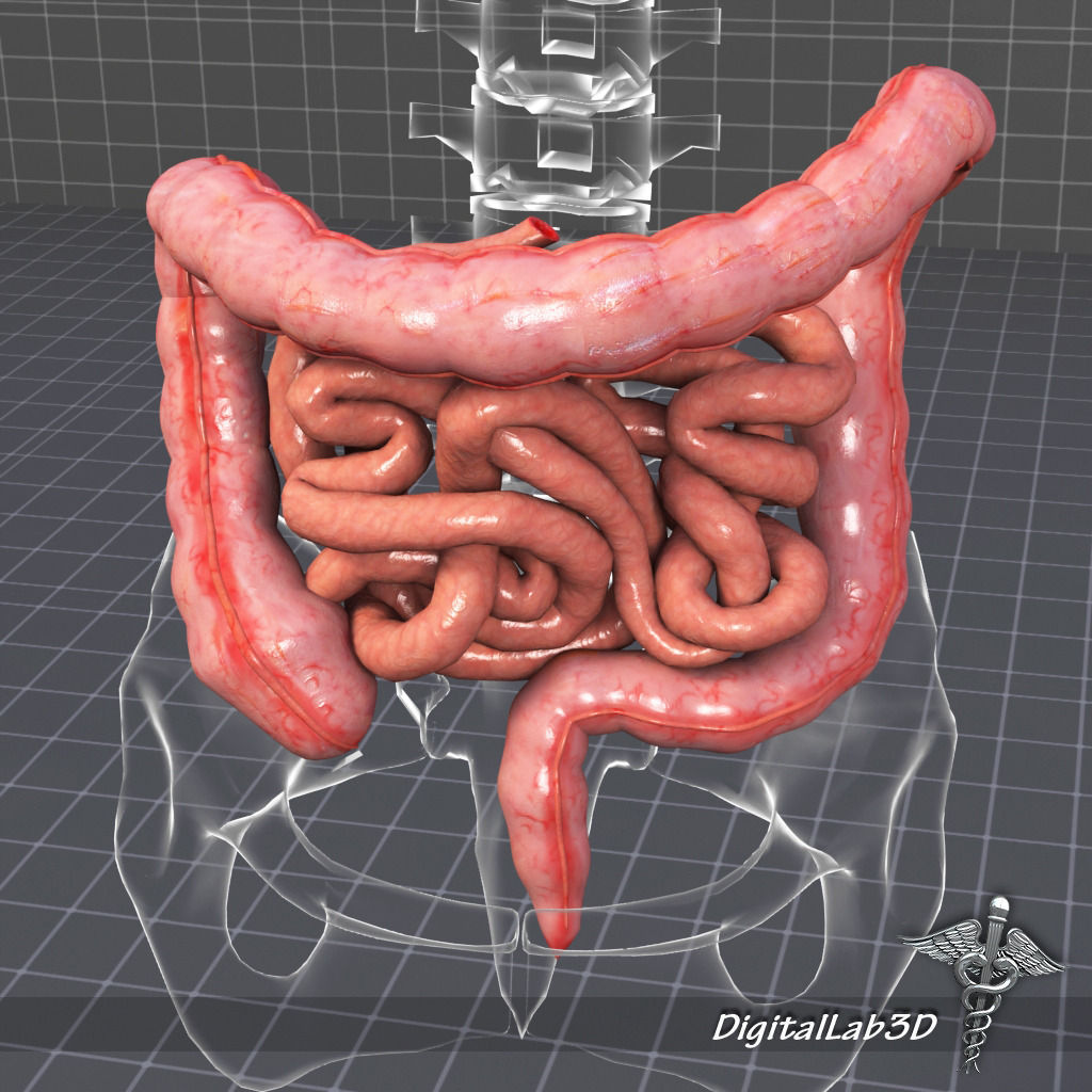 Human Large And Small Intestines 3d Cgtrader