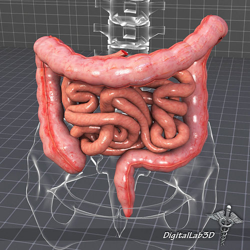 Human Large and Small Intestines 3D | CGTrader