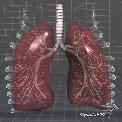 Lung images lungs anatomy