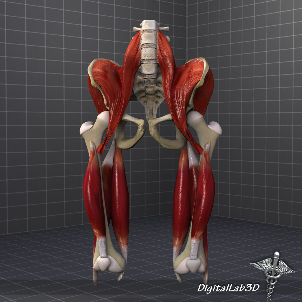 pelvis muscle bone anatomy 3d model max obj 3ds fbx c4d lwo lw lws, Muscles