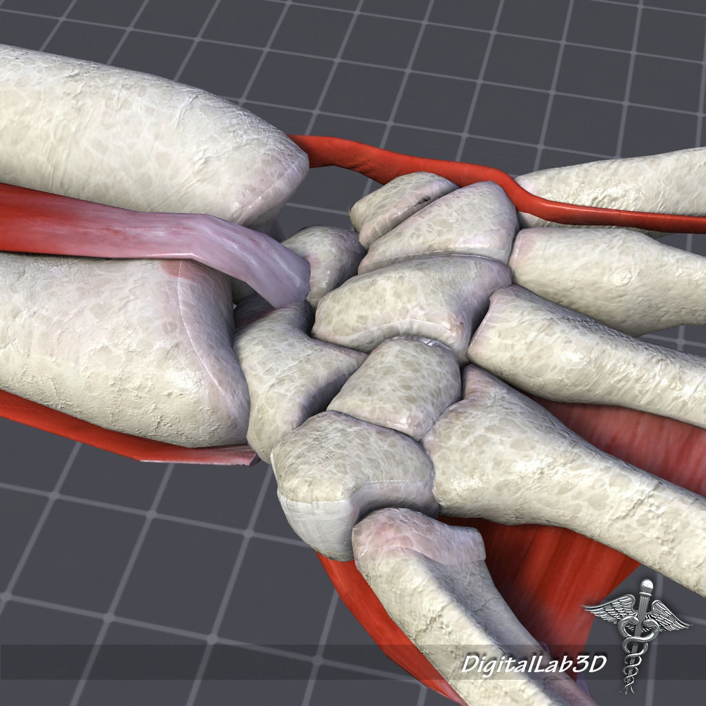 3d Human Wrist Bone Structure Cgtrader