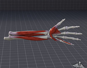 3D model Human Forearm Bone and Muscle Structure