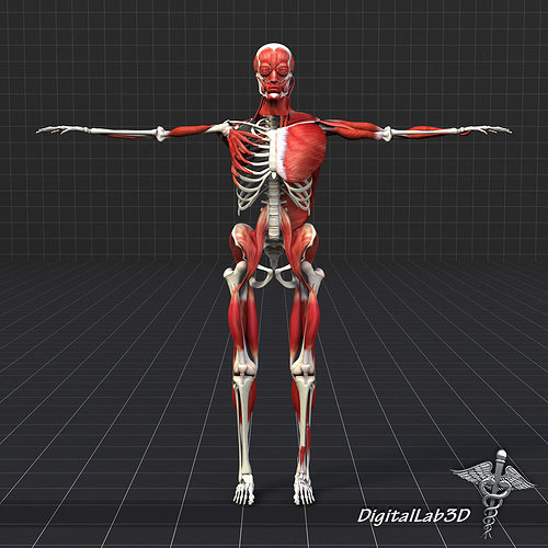 3D Human Muscle And Bone Structure | CGTrader