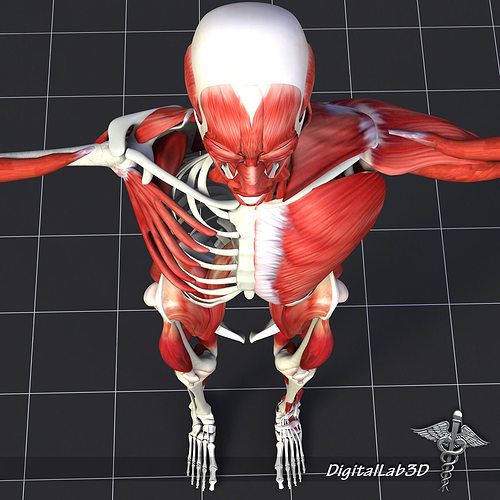 human muscle and bone structure 3d model max 3ds fbx c4d lwo lw, Muscles