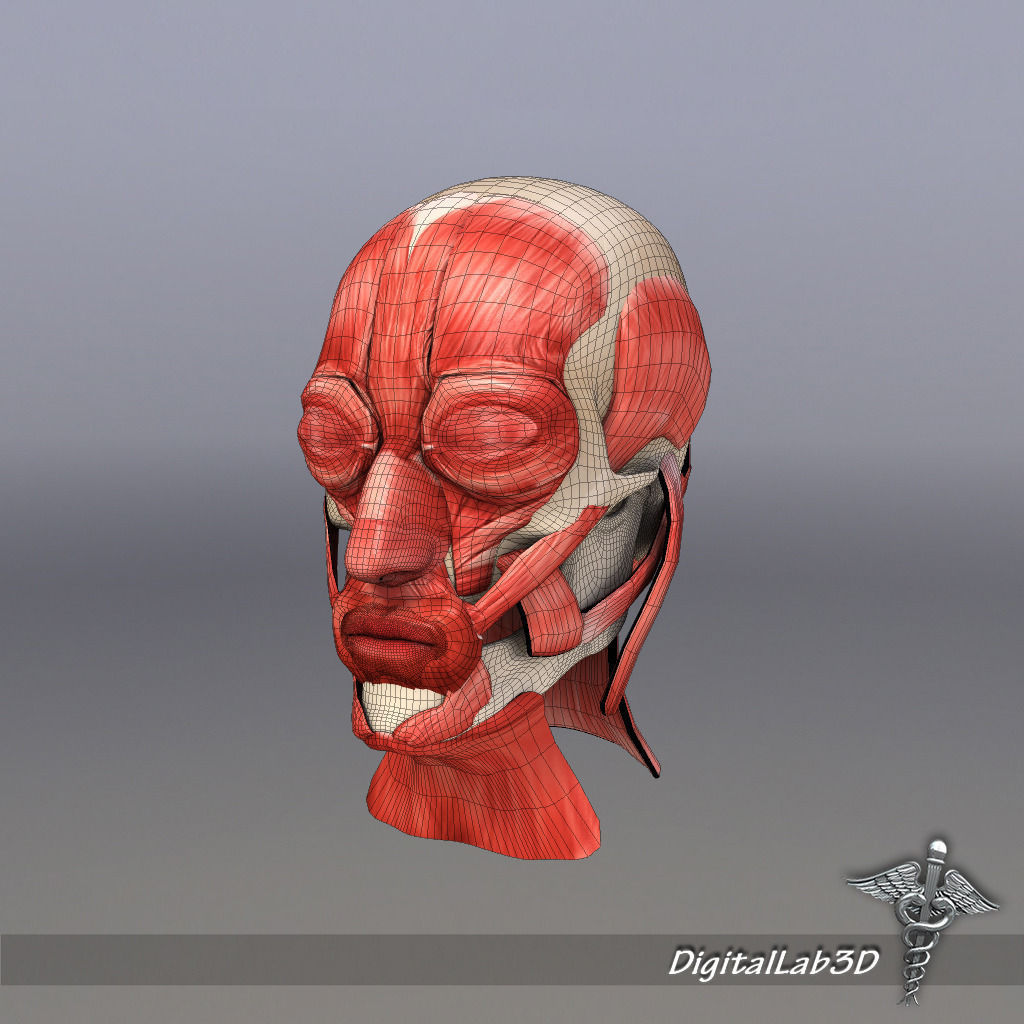 Facial Muscle Structure | 3D model