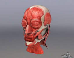 Facial Muscle Structure 3D