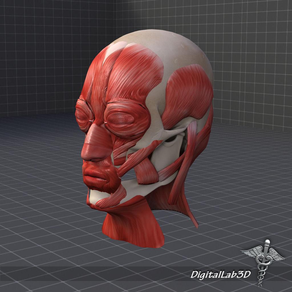 facial muscle structure 3d model max obj 3ds fbx c4d lwo lw lws, Muscles