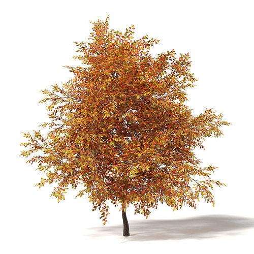 common oak 3d model 6m 3d model max obj mtl fbx c4d mat uasset 1