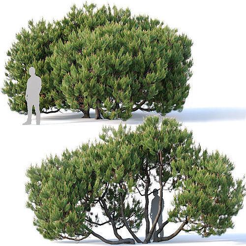 Pinus mugo Nr3 H380 cm Five tree modular set