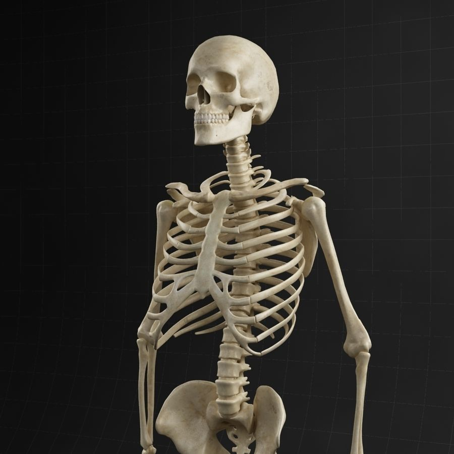 Anatomy skeleton 01