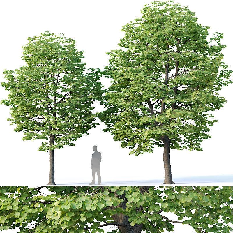 Tilia europaea Nr 2 H7-8m Two tree set