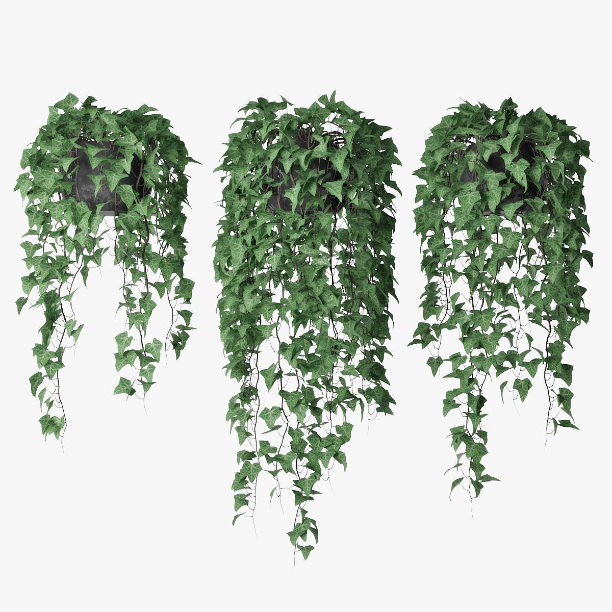 Ivy in pot 09