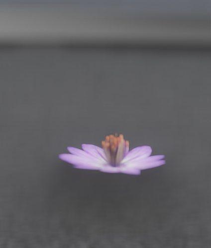 Violet Flower Blossom Version 7 - Object 34