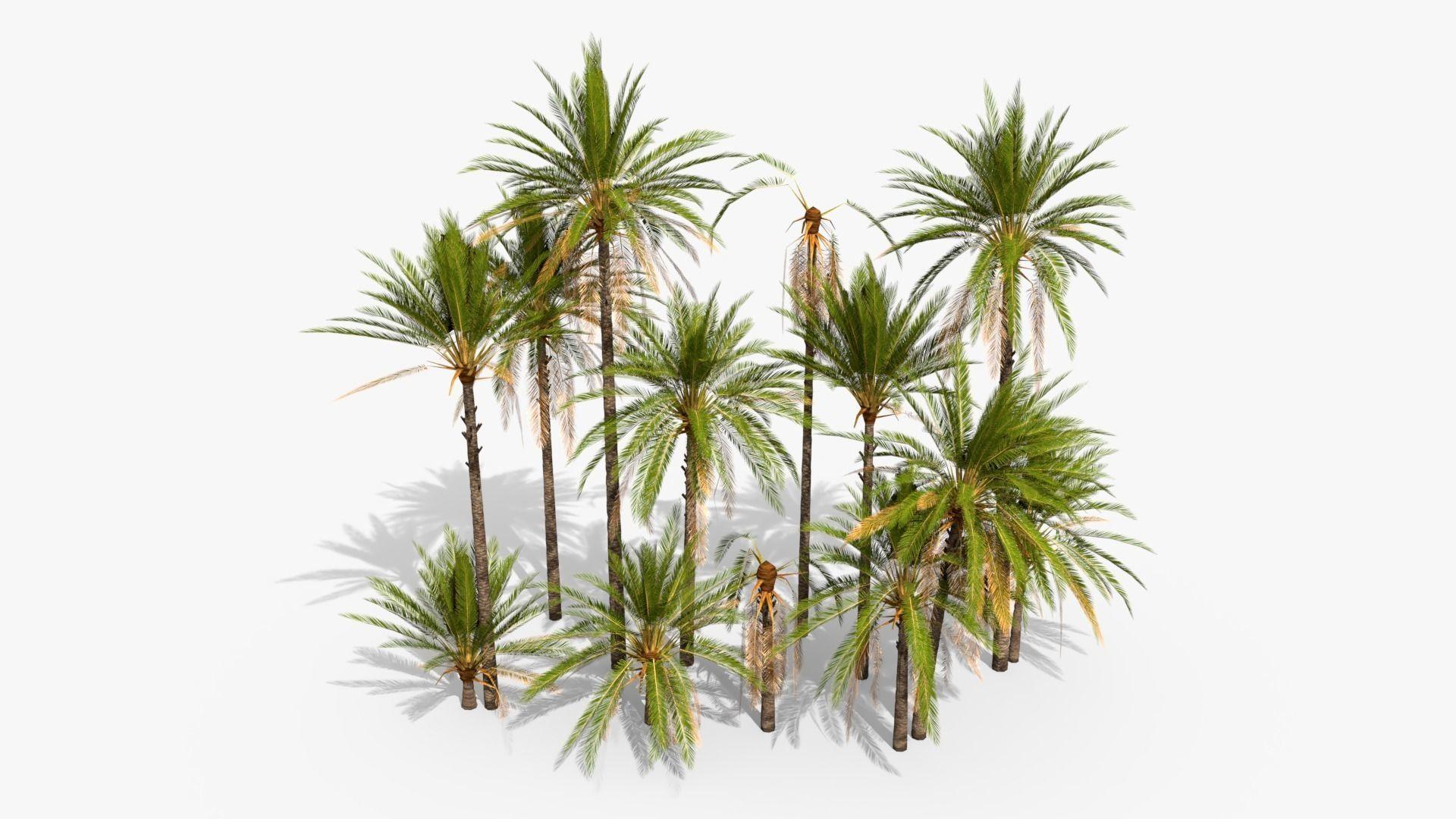 Phoenix Dactylifera Palm Tree