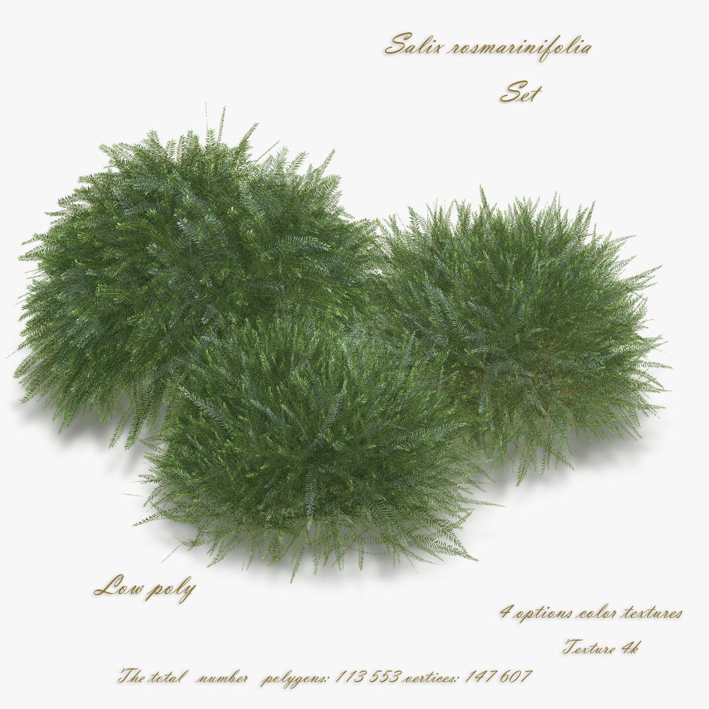 Bush Willow Salix rosmarinifolia