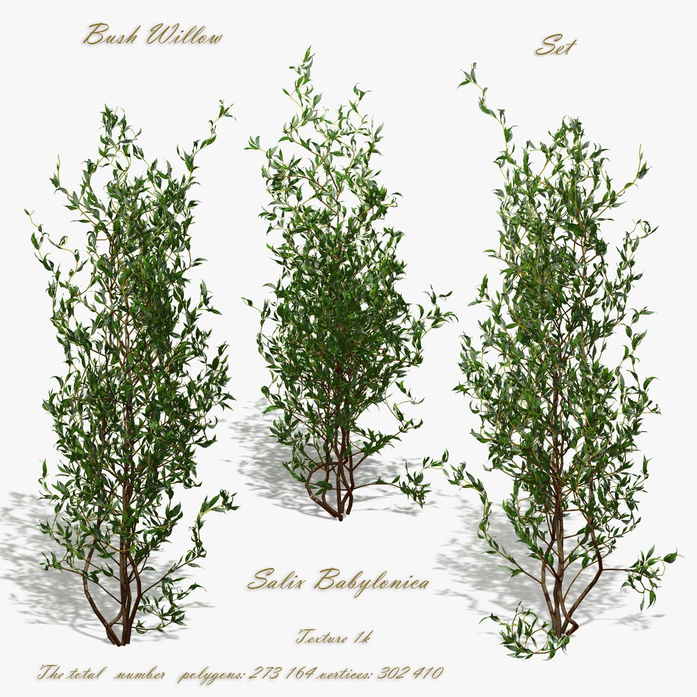 Bush Willow Salix Babylonica
