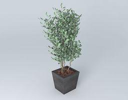 Eucalyptus Populus 3D