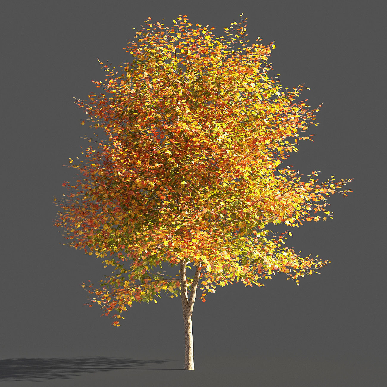 TULIP TREE 1