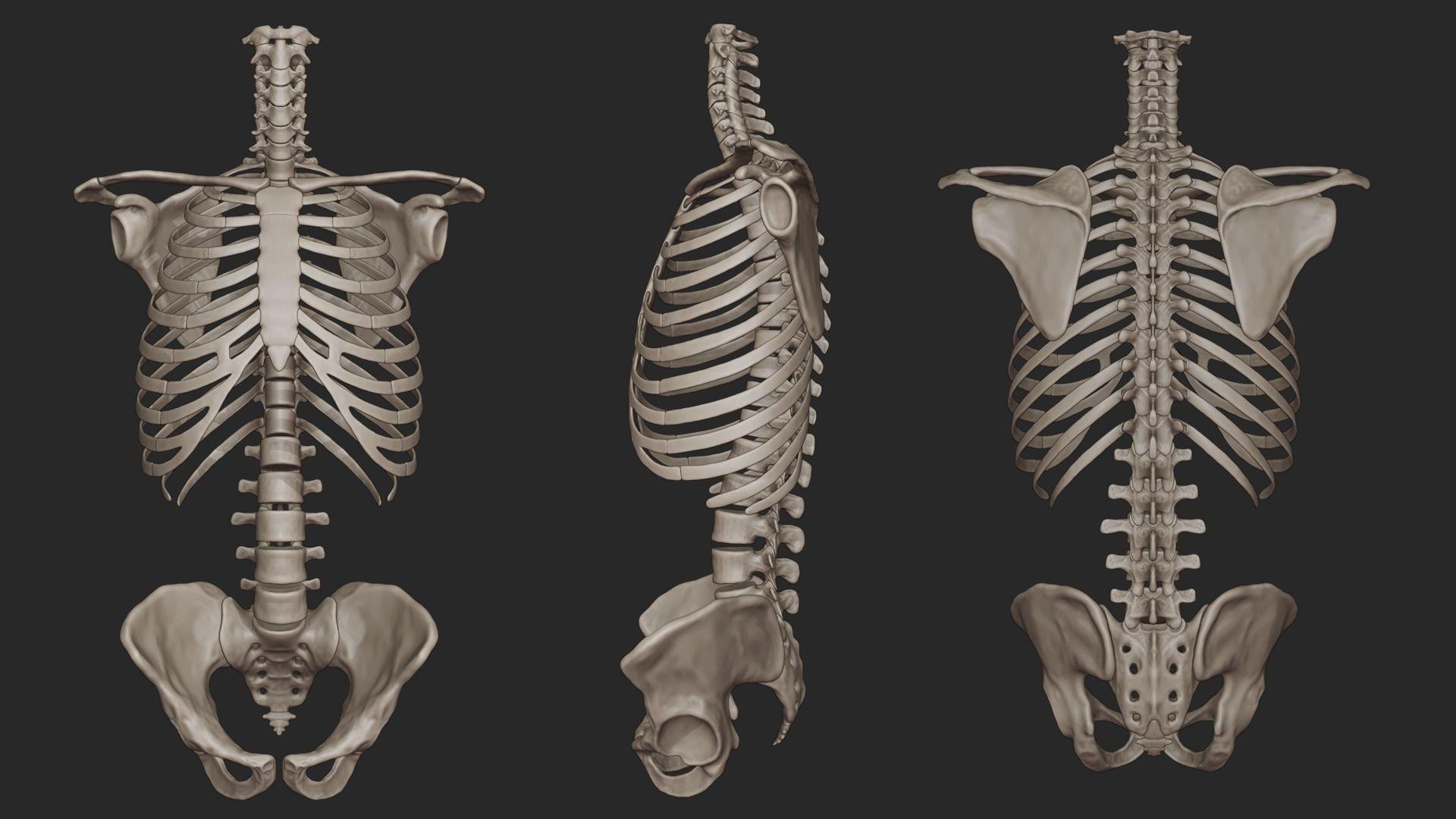 Human Skeletal Torso High Poly