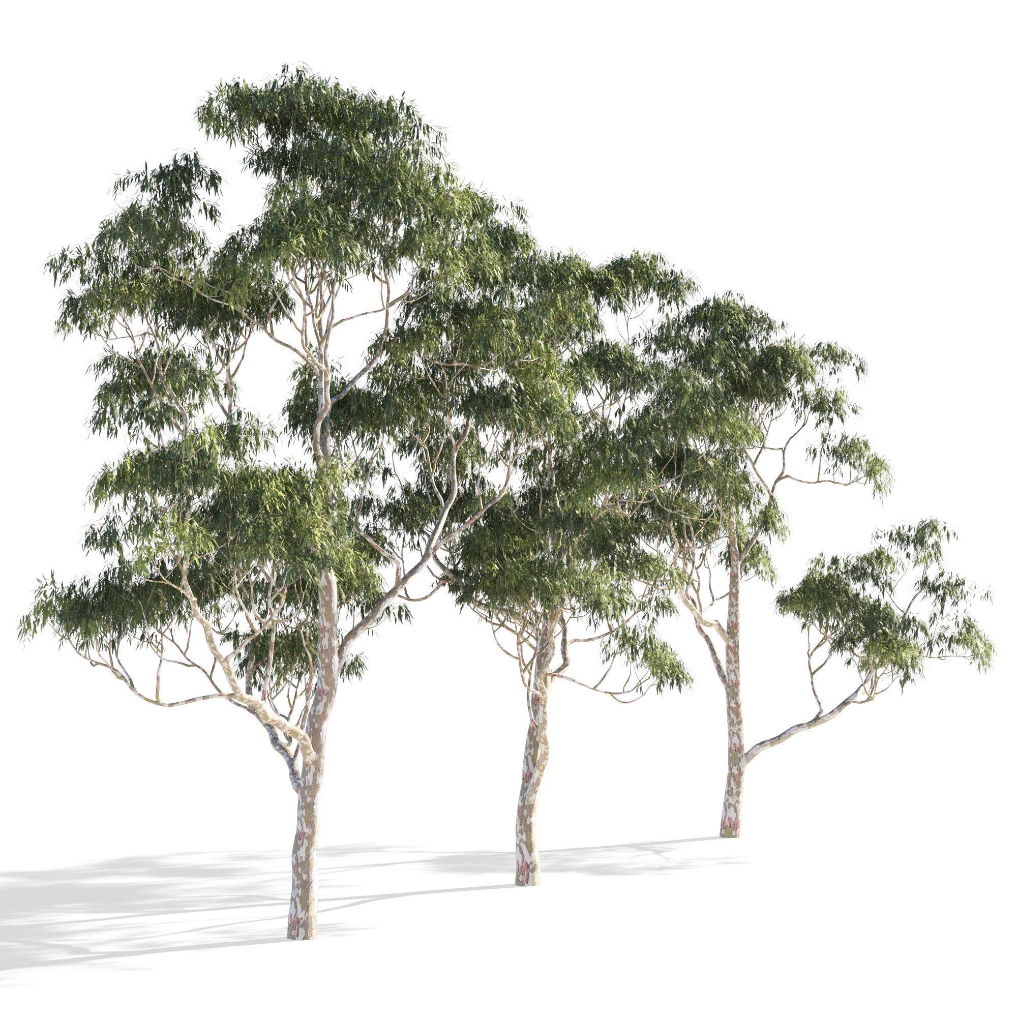 Eucalyptus collection 1