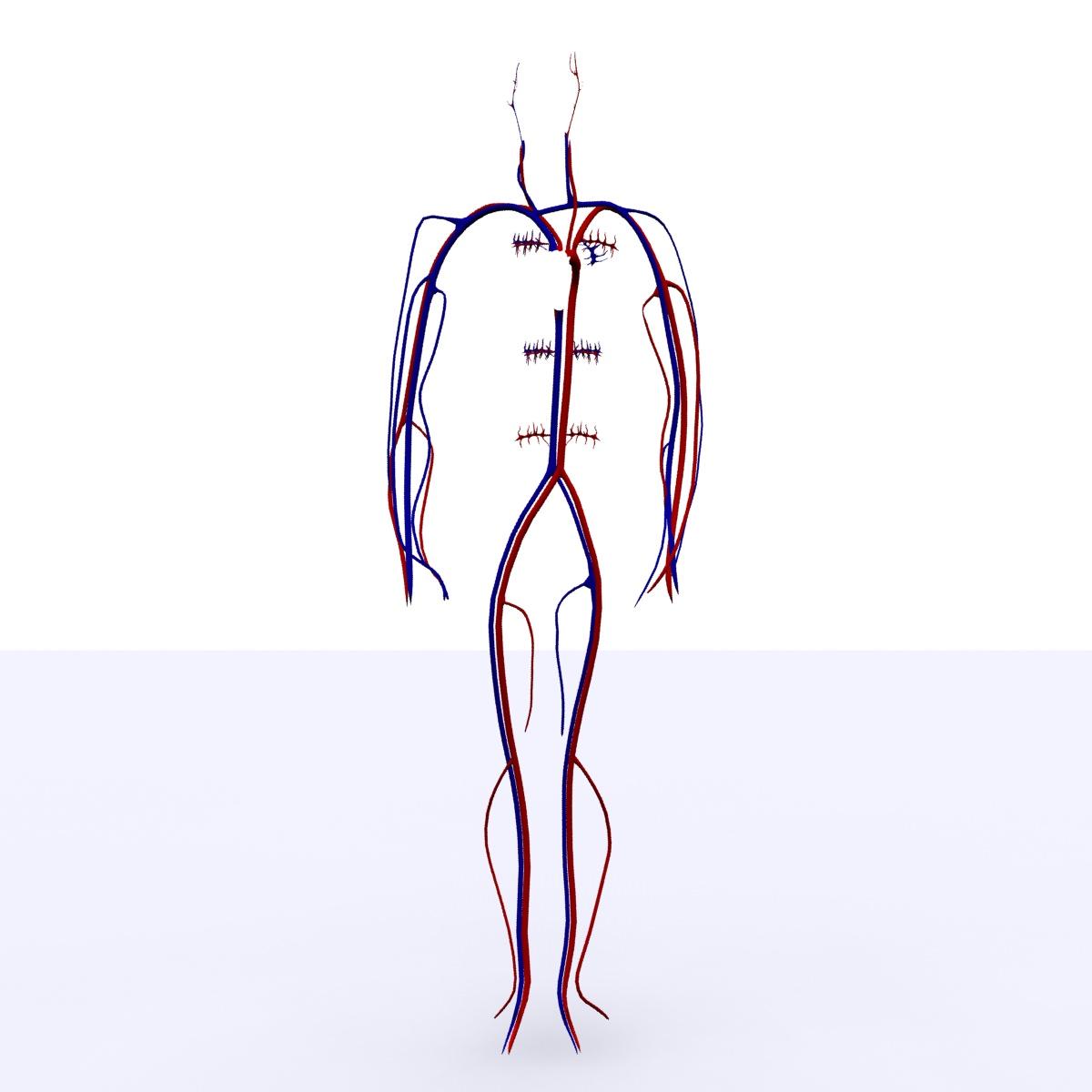 3d model circulatory system basic cgtrader