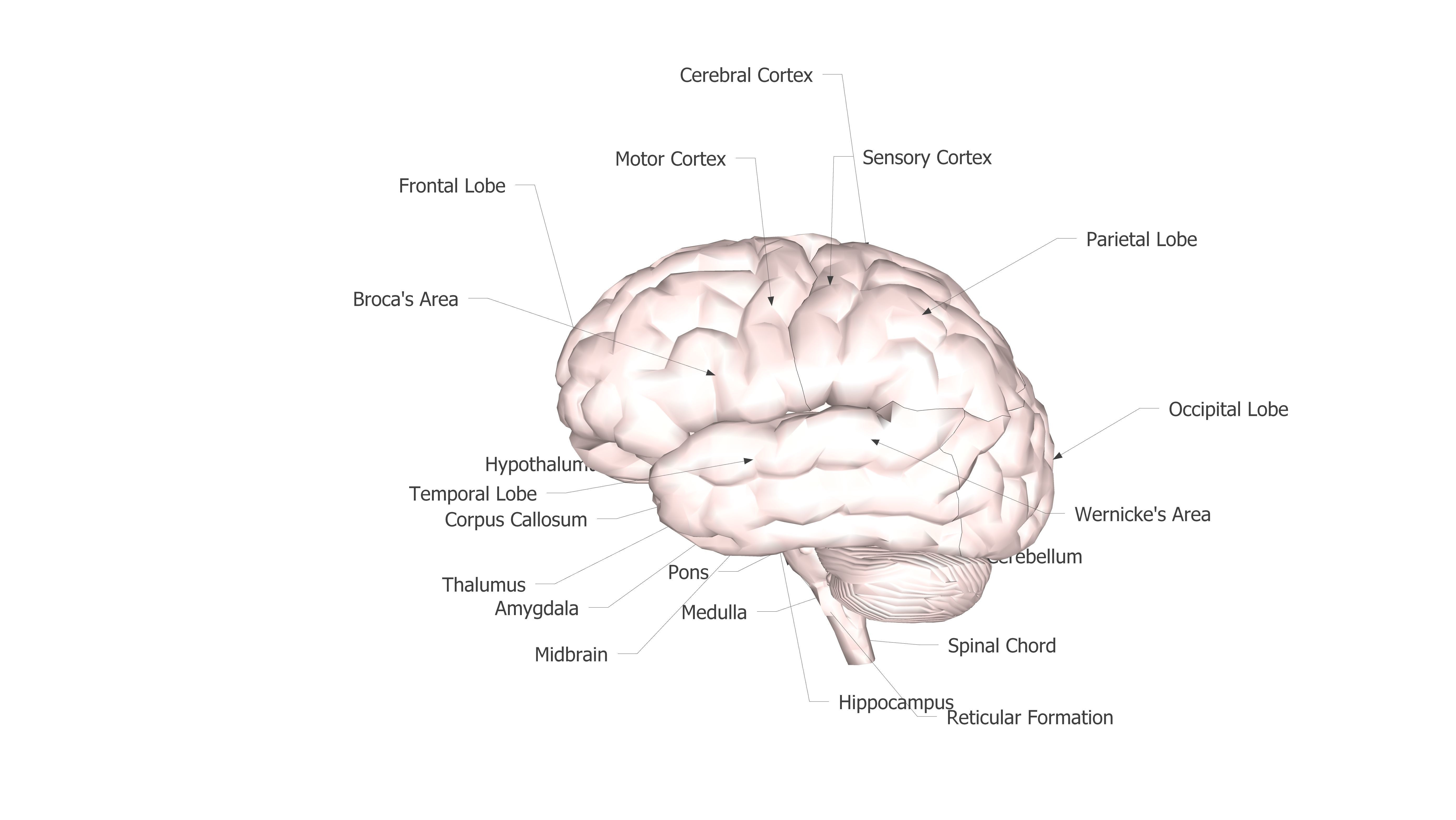 3D model brain with labeled parts and areas | CGTrader